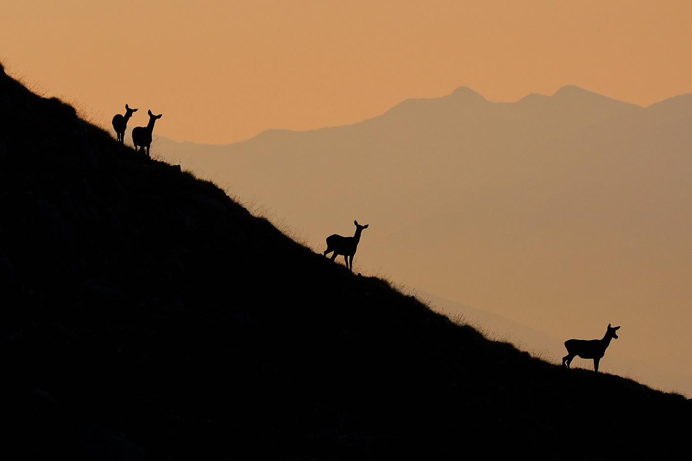 Cerve in silhoutte all'alba - Monte Velino