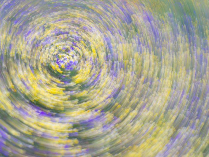Fioriture di Viola eugeniae (mosso creativo) - Monti Simbruini