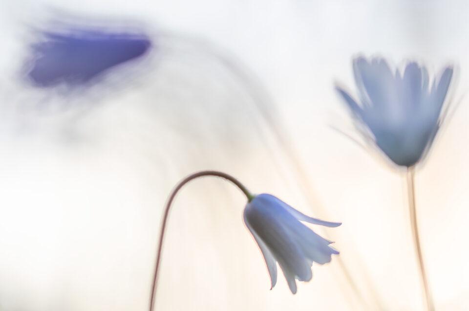 Anemone dell'Appennino - Monti Simbruini