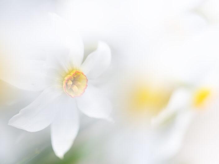 Narciso dei poeti (Narisus poeticus) - Monti Simbruini