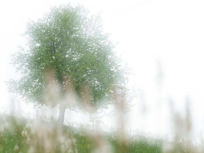 Albero solitario in un prato di asfodeli - Monti Simbruini