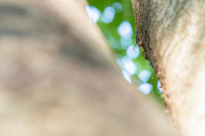 Rosalia alpina in accoppiamento - Monti Simbruini