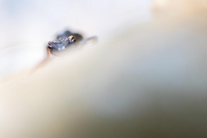 Salamandra perspicillata - Monti Simbruini