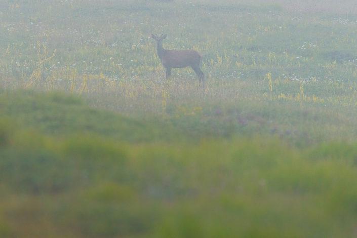 Giovane fusone di cervo - Monte Velino