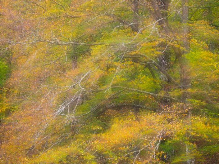 Chiome di grandi faggi mosse dal vento - Monti Simbruiini