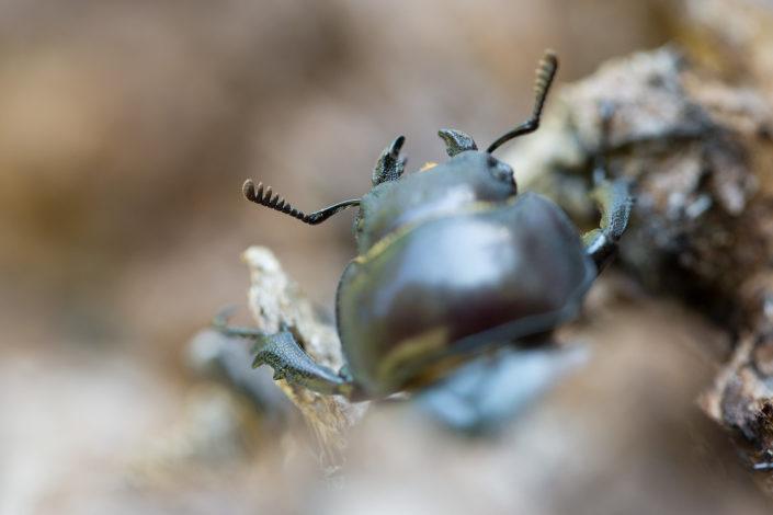 Lucanus tetraodon ♀️ - Monti Simbruini