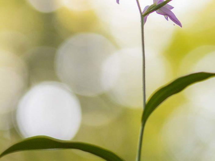 Cephalanthera rubra - Monti Simbruini