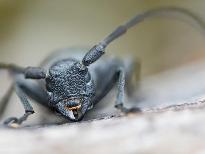 Morimus asper - Monti Simbruini
