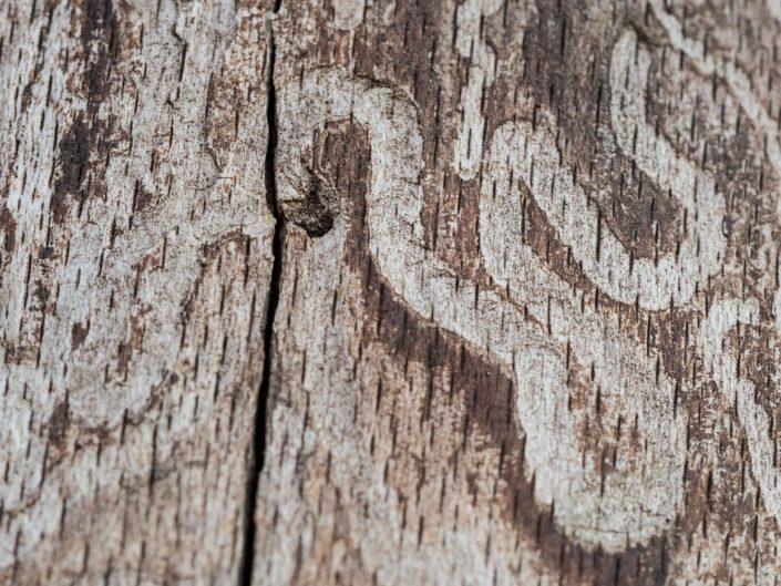 Segni lasciati sulla corteccia dalle larve di coleottero - Monti Simbruini