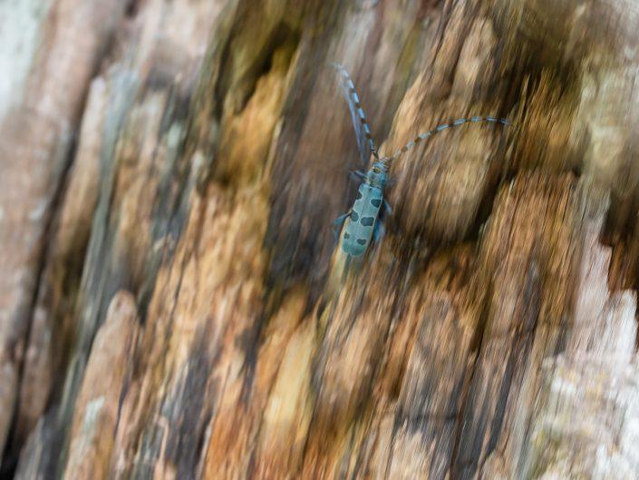 Rosalia alpina in movimento sul tronco di un vecchio faggio - Monti SImbruini