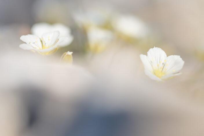 Ranunculus magellensis, specie endemica dell'Appennino centrale - Monti Simbruini
