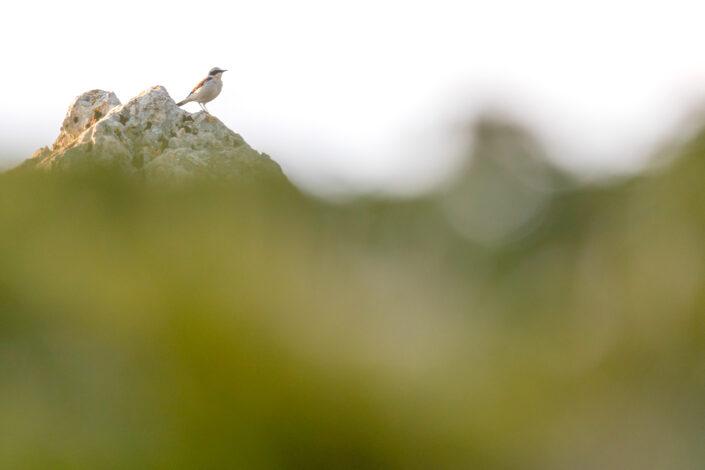 Maschio di Culbianco (Oenanthe oenanthe) - Monti Simbruini