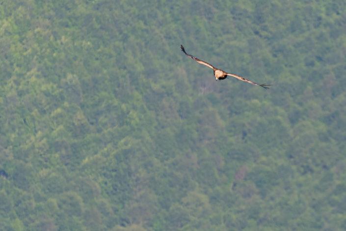 Aquila reale (Aquila chriseatos) - Monti SImbruini