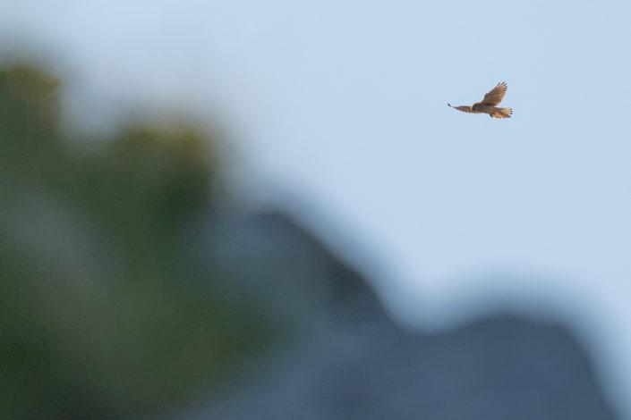 Gheppio (Falco tinnunculus) - Monti Simbruini