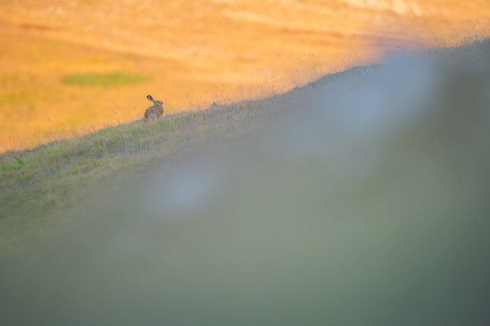 Una lepre (Lepus corsicanus) sui crinali al tramonto - Monti Simbruini