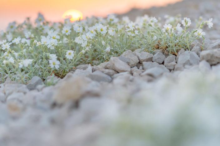 Cerastio (Cerastium tomentosum) - Monti Simbruini