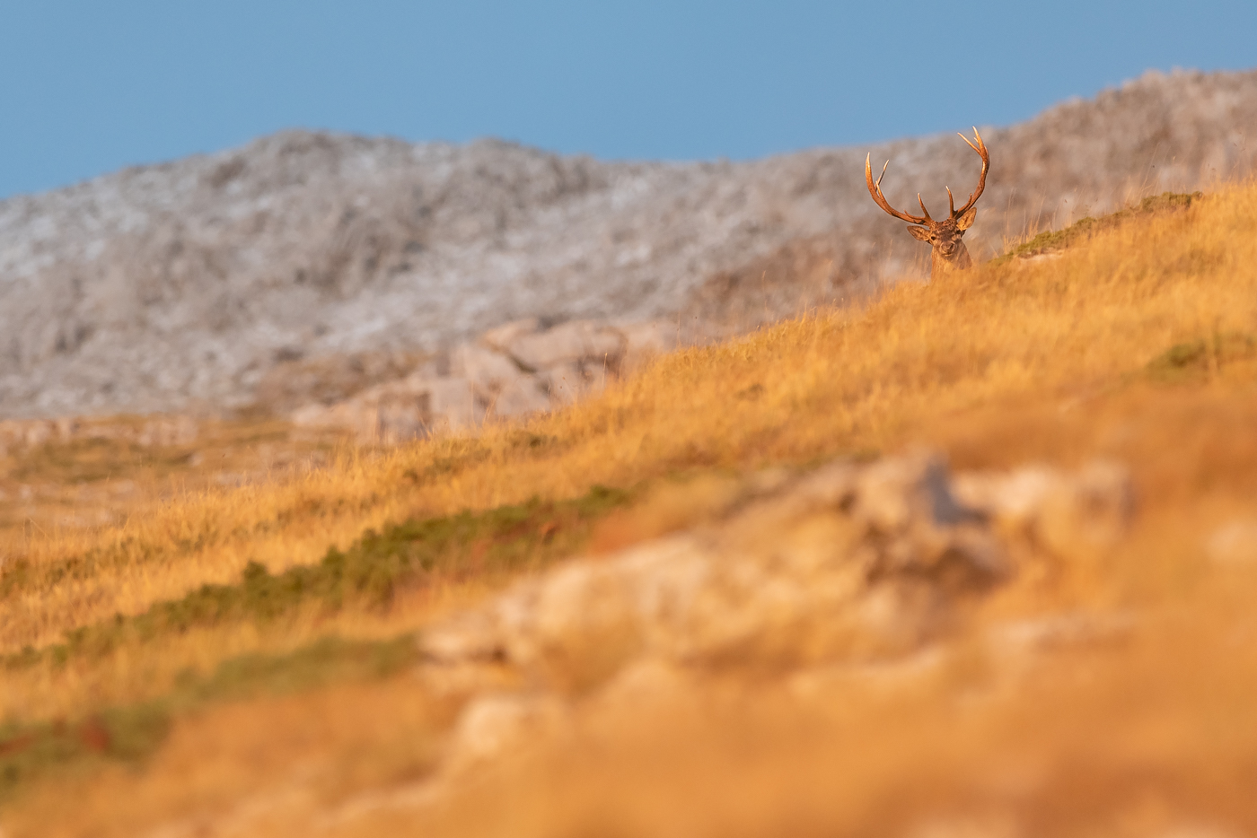 Cervo (Cervus elaphus) nella luce del tramonto - Monte Velino