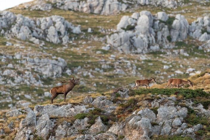 Cervo (cervus elaphus) al bramito - Monte Velino
