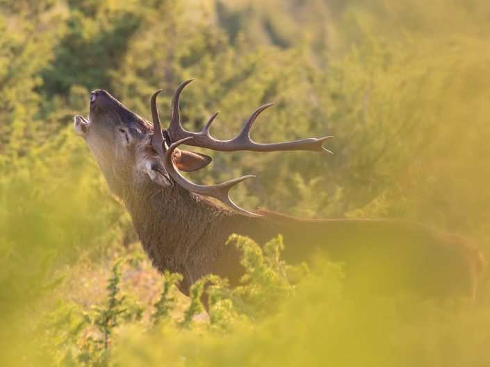 Bramito del cervo - Monte Velino